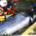 φάλαινα Τάμεσης
