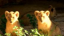 Λιονταρακια στον ζωολογικο κήπο