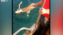 Ψάρεψαν ελάφι ψαράδες στη Χαλκίδα