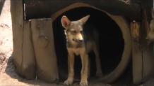 Λύκος στο ζωολογικό κήπο