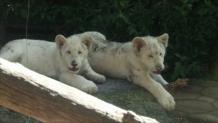 Σπάνια λευκά λιονταράκια σε ζωολογικό πάρκο στο Μεξικό