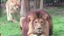 Μια λέαινα  γλυκοκοιτάζει λιοντάρι