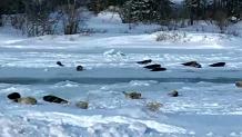 Φώκιες... κατέβηκαν σε πόλη του Καναδά