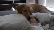 Σκύλος γκόλντεν ριτρίβερ προσέχει μωρό