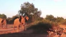 Αγριόσκυλα τα βάζουν με ελέφαντες