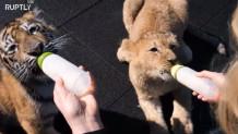 Είναι αχώριστοι! Η φιλία 4χρονης τίγρη κι 3χρονου λιονταριού