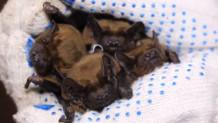 Φιλοξενεί νυχτερίδες στο σπίτι της