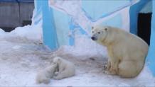 δίδυμες πολικές αρκούδες