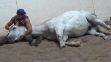 Λευκό άλογο κάθεται για χάδια