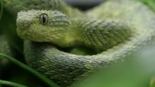 φίδι δαγκώνει στο πρόσωπο άντρα