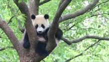 δέκα μηνών panda