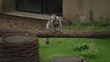 δίδυμοι λεμούριοι