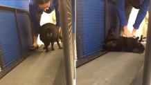 υπέρβαρη γάτα κάνει γυμναστική