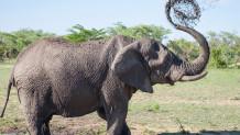 Ελέφαντας πετάει νερό με την προβοσκίδα του
