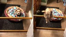 σκυλάκι πήδηξε εμπόδιο για να πει καληνύχτα στη μαμά του