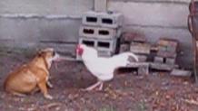 κόκορας- σκύλος