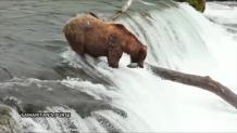 αρκούδα-καταρράκτη
