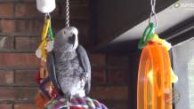 Viral - Παπαγάλος Μιμείται Ήχους