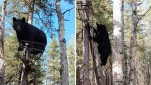 αρκούδα-ακροβάτης