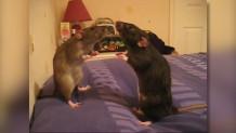 παιχνίδι υπνωτισμού ανάμεσα σε δύο ποντίκια