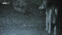Πάρνηθα: Αγέλες λύκων επανεμφανίστηκαν μετά από 80 χρόνια