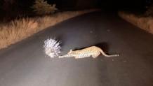 λεοπάρδαλη επιτίθεται σε ακανθόχοιρο
