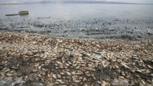 Ξεβράστηκαν χιλιάδες νεκρά ψάρια στη λίμνη Κορώνεια