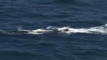 απελευθέρωση φάλαινας