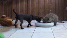 ρακούν και σκύλος