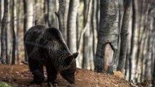 Επίθεση Αρκούδας Σε Βοσκό