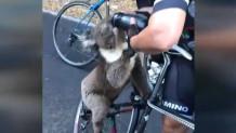 Διψασμένο κοάλα πίνει νερό από παγούρι ποδηλάτη