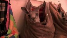Καγκουρό σε τσάντα διασώστη