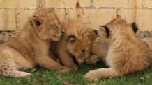 Τρία λιονταράκια
