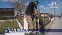 Καστανάς Θεσσαλονίκης: Διάσωση λύκαινας που καρφώθηκε σε κάγκελα