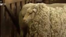 κουρεμένο πρόβατο