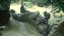 ρινόκερος παίζει αμέριμνος