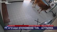 αγελάδα αστυνομία