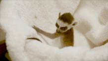 λεμούριος  γέννησε