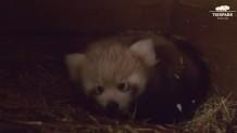 σπάνιο κόκκινο panda