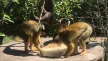 σπάνιοι πίθηκοι