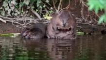 κάστορες στην Άγρια Φύση