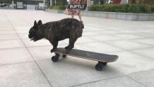 μπουλντόγκ που κάνει skateboard