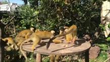 πίθηκοι Λονδίνο