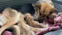 Γερμανικό Ποιμενικό - Μωρά Λιοντάρια