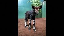 Σπάνιο Μωρό Καμηλοπάρδαλης