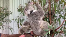 Αυστραλία- δίδυμα κοάλα