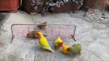 παπαγάλοι βόλεϊ