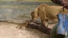 λιονταράκι γεννήθηκε με τεχνητή γονιμοποίηση