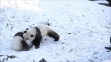 δίδυμα panda