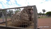 πρόβατο δεν έβλεπε από το πολύ μαλλί